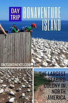 All you need to know about visiting Bonaventure Island in Quebec and the largest Atlantic sea birds colony in North America. #bonaventureisland #birdwatching #gannetcolony #gaspesie #gaspepeninsula #perceqc #northerngannets #on2continents #travelblog #canada #quebec #daytrip #roadtrip #familytravel Top Travel Destinations, Best Places To Travel, Cool Places To Visit, Travel Couple, Family Travel, Best Travel Guides, Travel Tips, Canadian Travel, Visit Canada