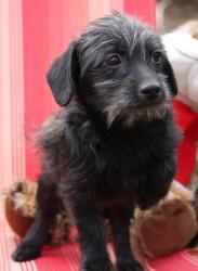 Wally is an adoptable Poodle Dog in Rock Hill, SC. You can fill out an adoption application online on our official website. Please contact Teri ( Terisluvs@aol.com ) for more information about this pe...