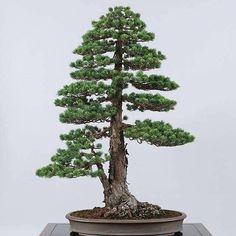 Pictures from Faecbook;TAE KUKIWON BONSAI.#bonsai #bonsaitree #bonsailife #garden #tree by esanpunk