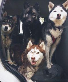 Happy Tuesday!  Nice pic by: @fluffyhuskytales  #huskiesofinstagram #huskies…