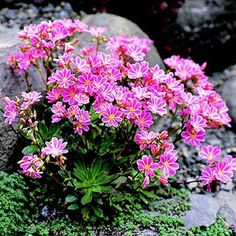 """Trough Gardens-Lewisia-native American West flower late spring-early summer w/pink, rose, salmon, white, cream, or orange blooms distinctively striped. They don't tolerate moisture around their crowns, so mulch with gravel to promote drying.  Size: 6-12"""" tall; 8-16"""" wide  Zones: 4-8  Top Picks: Cotyledon Hybrids lewisia-northern California species-wide range of colors  forms.  Bitterroot bears solitary pink or white blooms."""