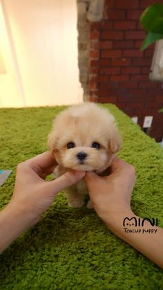 Cute Teacup Puppies, Cute Baby Puppies, Super Cute Puppies, Teacup Dogs, Small Puppies, Little Puppies, Little Dogs, Baby Animals Pictures, Cute Animal Photos