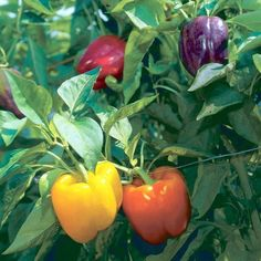 How to Grow Bell Peppers. Bell peppers (Capsicum annuum) can be a delicious addition to any dish. If you or your family eats a lot of bell peppers, consider growing your own! You can grow bell peppers from seeds, or you can purchase. Veg Garden, Fruit Garden, Edible Garden, Flowers Garden, Vegetable Gardening, Garden Beds, Growing Veggies, Growing Tomatoes, Fruit And Veg