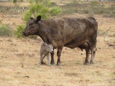 <p>Here's a lovely story of an ex-breeding cow and the very first calf she will keep forever.</p>