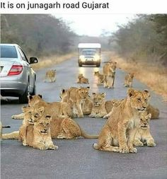 Gir Forest.. Gujarat.. India ღϠ₡ღ✻↞❁✦彡●⊱❊⊰✦❁ ڿڰۣ❁ ℓα-ℓα-ℓα вσηηє νιє ♡༺✿༻♡·✳︎· ❀‿ ❀ ·✳︎· WED Aug 24, 2016 ✨ gυяυ ✤ॐ ✧⚜✧ ❦♥⭐♢∘❃♦♡❊ нανє α ηι¢є ∂αу ❊ღ༺✿༻♡♥♫ ~*~ ♪ ♥✫❁✦⊱❊⊰●彡✦❁↠ ஜℓvஜ