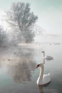#winter #swans #nature