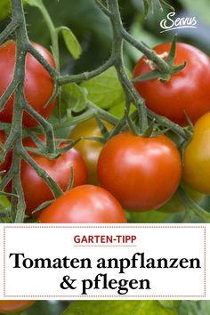 Wie kommt man zu schönen Tomaten, wie pflanzt man sie richtig an? Und wie steigert man die Ernte? Unser Experte Johannes Käfer gibt sein Gartenwissen preis. #tomaten #tomatenanpflanzen #gartenwissen Johannes, Organic Fertilizer, Fruits And Veggies, Harvest