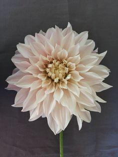 #cafeaulait #dahlia #petals #nature #flower #mygarden