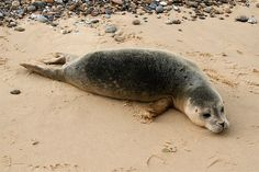 Phoca vitulina Common Seal