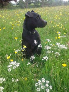 Life without a Patterdale, I think not. Picture of our little guy ❤️❤️❤️
