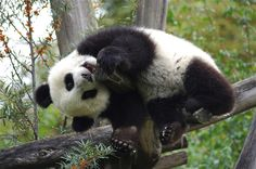 Twisted Panda Cub by Josef Gelernter on 500px