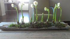 easy idea for springtime with bulbs, moss and bark Ikebana, Garden Bulbs, Outdoor Flowers, Spring Bulbs, Green Art, Arte Floral, Winter Garden, Plant Decor, Spring Flowers