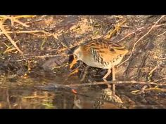 After two years of not being seen water rail are back at Woods Mill nature reserve. World Wetlands Day, Wood Mill, Nature Reserve, Woods, Trust, Wildlife, Creatures, Water, Animals
