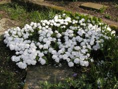 """Bloodroot 'Multiplex'. Sanguinaria canadensis. 6"""" tall. Blooms March-April. Native plant, double flowering."""