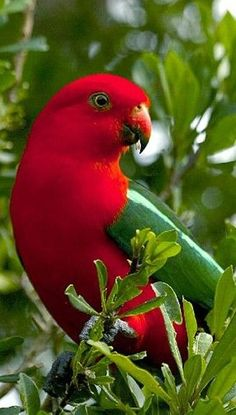 Australian King Parrot U  Inspiration for your coloring. Use Aurora colored pencils from http://aurora-artsupplies.com