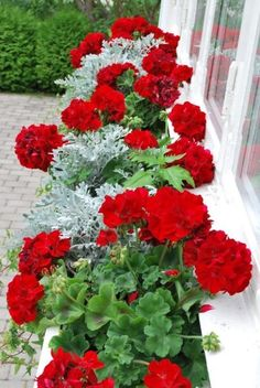 Red geraniums with dusty miller