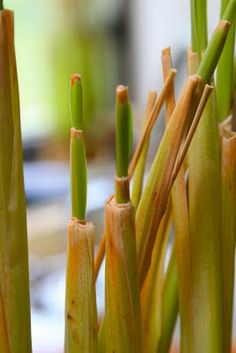 I recently started cooking with lemongrass and I love it! This grass is used in many Thai and Vietnamese dishes and brings a citrusy-bright. Growing Greens, Growing Herbs, Healthy Vegetables, Handmade Soaps, Vegetable Dishes, Lemon Grass, Fungi, Diy Tutorial, Shea Butter