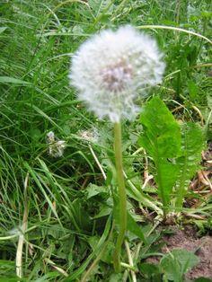 jadalne zioła | Niezłe Ziółko Dandelion, Education, Flowers, Plants, Diet, Dandelions, Florals, Teaching, Plant