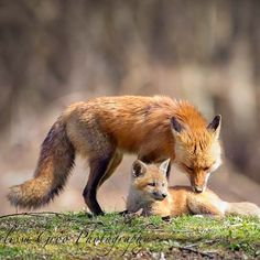 """Papa Fox and one of his kits. I am still discovering photos from my productive time with this red fox family a couple years ago. I remember so clearly how…"""