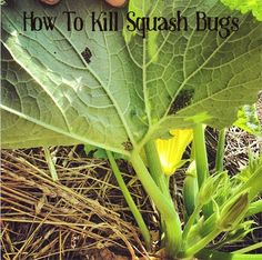 On Just A Couple Acres:  how to remove squash bug eggs. Duct tape!!!