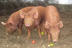 Happy eaters - Tamworth pig eating