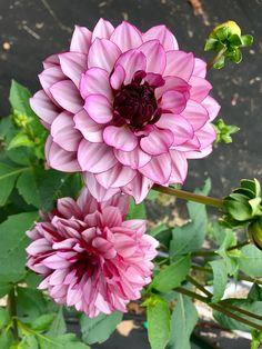 Beautiful Things, Beautiful Flowers, Dahlia Flowers, Spiritual Healer, Flower Beds, House Plants, Flower Power, Creme, Photo Ideas