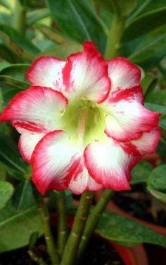 hybrid Double Desert Rose Flowers   2012-2013 Hybrid Desert Rose Plants