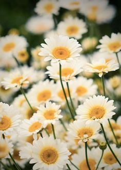 Daisy's . . . I love their herbal like smell, their up right happiness and always so willing and easy to grow!! A gift from GOD indeed!!