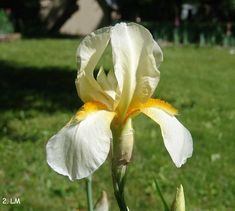Gold Stream | mid Historic Iris Preservation Society