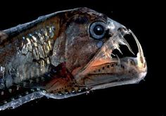 "The viperfish, which can easily be recognized from the Disney film ""Finding Nemo"" with its hinged lower-jaw containing long stringy, pointy teeth, is a deepwater fish that lives in tropical and temperate waters. The viperfish varies from 12 to 24 inches in length and swims in depths from 250 to 5,000 feet. Although the viperfish is frightening in appearance, it is preyed on by sharks and even dolphins!"