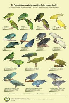 Color Mutations of the Lineolated Parakeet