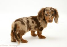 Photograph of Chocolate Dapple Miniature Long-haired Dachshund pup. Rights managed white background Dog image. Dachshund Breed, Dachshund Funny, Dachshund Love, Teacup Dachshund, Cream Dachshund, Daschund, Long Haired Miniature Dachshund, Miniature Dachshunds, Dapple Dachshund Long Haired