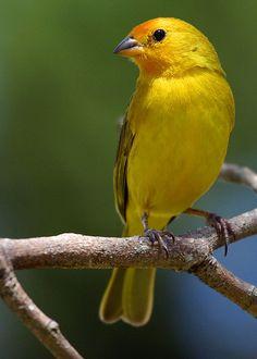 Canário-da-terra-verdadeiro, Saffron Finch (Sicalis flaveola) by Bertrando©, via Flickr