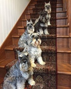 """43 Likes, 4 Comments - Catherine MacDonald-Robertson (@bedelia_the_mini_schnauzer) on Instagram: """"My dream. Home of the future. Full of schnauzers.😊👍💜💜💜🐾"""""""