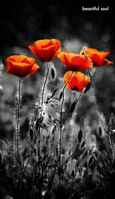 Flower Images, Flower Pictures, Nature Pictures, Pretty Pictures, Art Pictures, Flower Art, Photos, Poppy Photo, Beauty Art