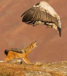 #hawk #predators #animals