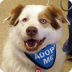 Garfield Heights, OH - Australian Shepherd/Husky Mix. Meet Wally, a dog for adoption. http://www.adoptapet.com/pet/15090000-garfield-heights-ohio-australian-shepherd-mix