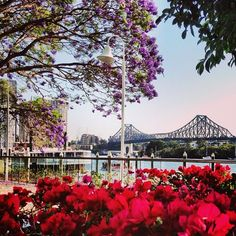 Brisbane in bloom #jacarandas #storybridge #spring