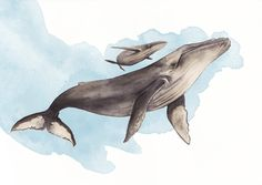 humpback whale study in watercolor for an interactive app