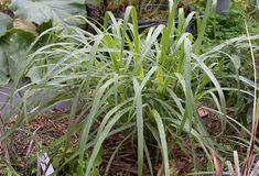 Lemongrass is a fantastic plant to grow in any kitchen garden. You can grow them easily in containers as well as in the backyard. Lemongrass is quite popular in Asian cuisines. Lemongrass grows well in tropical conditions. It will survive winter only in zone 8 and warmer. So if you... Lemon Grass, Seedlings Indoors, Lemongrass Plant, Grow Lemongrass, Plants, Gardening Gear, Garden Harvest, Compost Tea, Farm Gardens