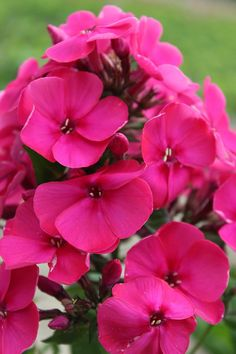 Phlox paniculata 'Younique Old Cerise'®