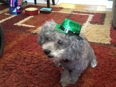 Lost our baby, our love, our dog of 15 years.  Would love to find another toy poodle in Minnesota.