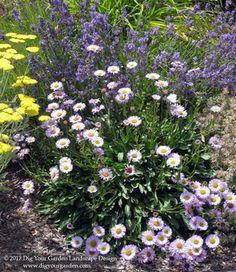 drought-tolerant flower combinations: Erigeron 'Wayne Roderick' + lavender + yarrow
