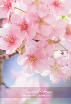 Spring Flowers Wallpaper, Flower Wallpaper, Cherry Blossom Japan, Cherry Blossoms, Pink Wallpaper Iphone, Cherry Tree, Blossom Flower, Flower Power, Beautiful Flowers