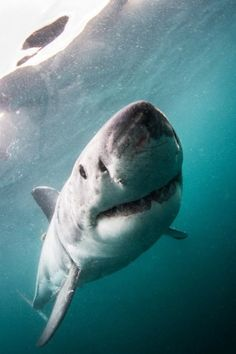 Great White Shark by Morne Hardenberg