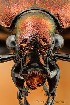 Copper armor...Carabus ullrichi (Coleoptera, Carabidae).