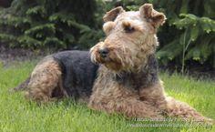 Listado de Razas de Perros y Gatos. Todos los tipos...: Raza de Perro Terrier Galés (Welsh terrier)