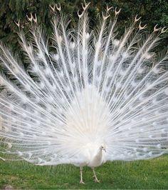 Si les paons sont connus pour leur roue colorée, celui-ci a préféré opter pour le blanc immaculé