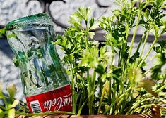 RadMegan has a great way to re-purpose old coke bottles! She used her old bottles to create water globes for her garden! Self watering plants! You can also use any sized plastic bottle for the same Glass Coke Bottles, Recycled Glass Bottles, Soda Bottles, Plastic Bottles, Reuse Bottles, Container Gardening, Gardening Tips, Self Watering Plants, Water Globes