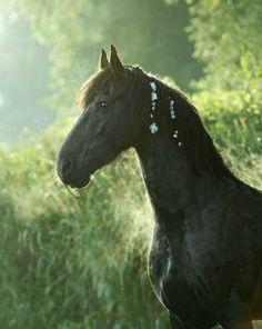 Friesian mare, Silke. photo: Katarzyna Okrzesik.